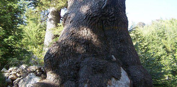 Katran Ağacı Antalya